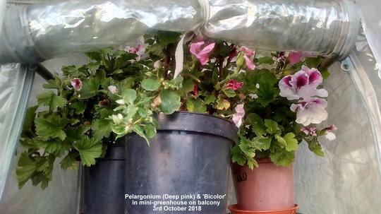 Pelargonium (Deep pink) & 'Bi-Color' in mini-greenhouse on balcony 3rd October 2018
