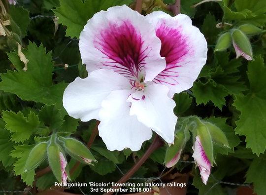 Pelargonium 'Bi-Color'   (Pelargonium Grandiflorum)