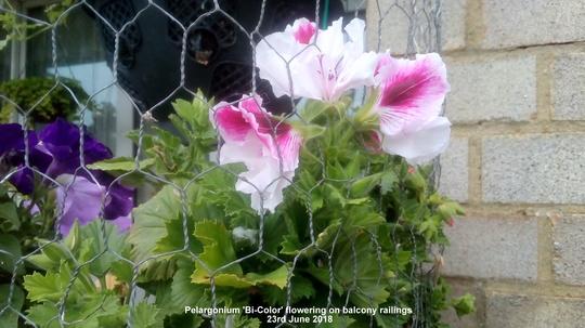 Pelargonium 'Bicolor' flowering on balcony railings 23rd June 2018 (Pelargonium Grandiflorum)