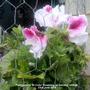 Pelargonium_bi_color_flowering_on_balcony_railings_23rd_june_2018