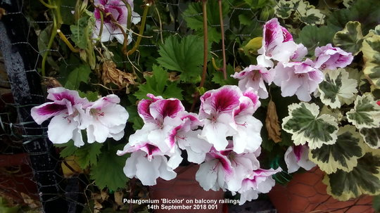Pelargonium 'Bicolor' on balcony railings 14th September 2018 001 (Pelargonium Grandiflorum)