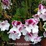 Pelargonium_bicolor_on_balcony_railings_14th_september_2018_001
