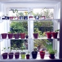 Window shelves for my chillies  (Capsicum frutescens (Chilli))