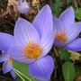 Autumn Flowering Crocus