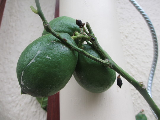 And Lemons (Citrus x meyeri)