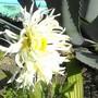 Grasshopper? (dahlia cactus)