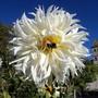 2 years ago (dahlia cactus)