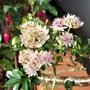 Late flowering Astrantia
