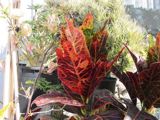 Croton's total change in color. (Codiaeum variegatum)