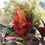 Croton's total change in color. (Codiaeum variegatum)