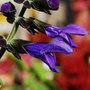 Salvia coerulea (Salvia coerulea)