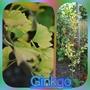 Ginkgo Biloba Menhir...... (Ginkgo biloba (Maidenhair tree) Menhir)