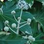 Fatsia japonica Variegata.