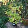 Physocarpus Angel Gold.... (Physocarpus opulifolius (Ninebark))