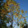 The last of the leaves on the Tulip Tree...... (Liriodendron tulipifera (Tulip tree))
