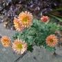 Chrysanthemum 'Bronze Elegance' - 2018 (Chrysanthemum)