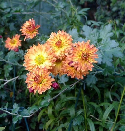 Chrysanthemum 'Apollo' - 2018 (Chrysanthemum)
