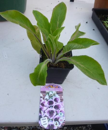 Digitalis purpurea Sugar Plum (Digitalis purpurea (Common foxglove))