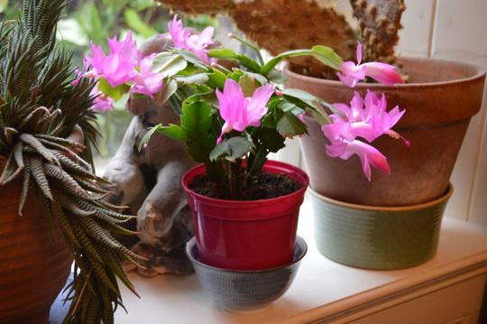 Schlumbergera (Schlumbergera truncata andS x buckleyi)