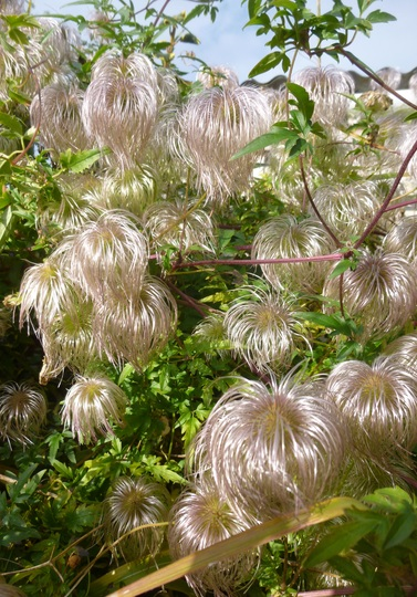 Clematis tangutica silky seed heads