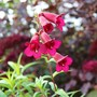 Penstemon (Penstemon.)