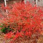 Prunus_kojo_no_mai_nov.18