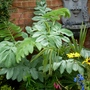 Melianthus_major