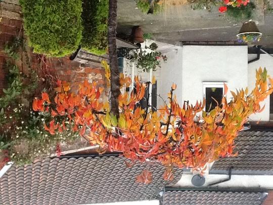 Prunus Snow showers....Autumn colour (Prunus snow showers.....weeping Fuji cherry)