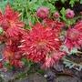 Chrysanthemum 'Chelsea Physic Garden' - 2018 (Chrysanthemum)