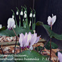 Cyclamen and Galanthus different angle