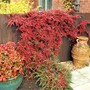 The Pyracantha and Nandina look almost on fire with the Autumnal colours.