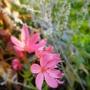 Schizostylis.....pink. (Schizostylis coccinea (Kaffir Lily))