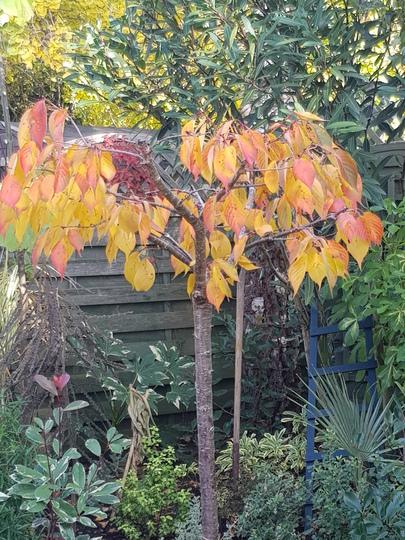 Prunus Shirotae (Prunus Shirotae.)
