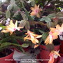 Christmas Cactus (Salmon Orange) flowering in kitchen 13th October 2018 (Schlumbergera truncata)