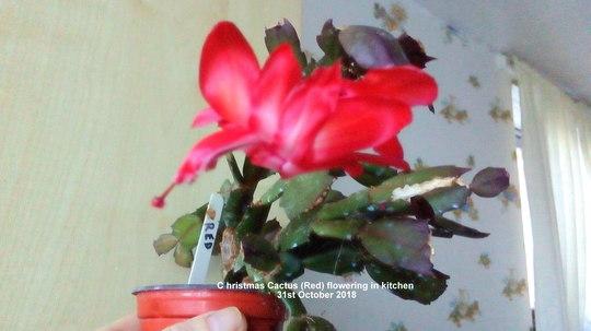 Christmas Cactus (Red) flowering in kitchen 31st October 2018 (Schlumbergera truncata)