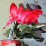 Christmas Cactus (Red) flowering in kitchen 31st October 2018 (Schlumbergera truncata)