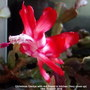 Christmas Cactus with red flower in kitchen (Very close up) 18th October 2018 (Schlumbergera truncata)