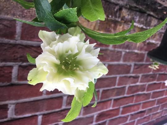 I love this one.  (Helleborus x hybridus)