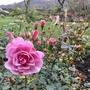 Rosa 'Sweet Wonder'