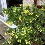Coronilla 'Citrina' (Coronilla valentina subsp. glauca 'Citrina')