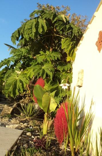 Gladiolus callianthus (Gladiolus callianthus (Acidanthera))