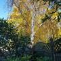 Silver Birch... (Betula pendula (Silver birch))