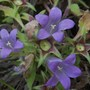 campanoula orphanidea