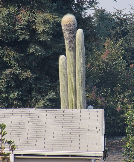 Giant Old Man Cactus. (Cephalocereus senilis (Mexican Old Man))
