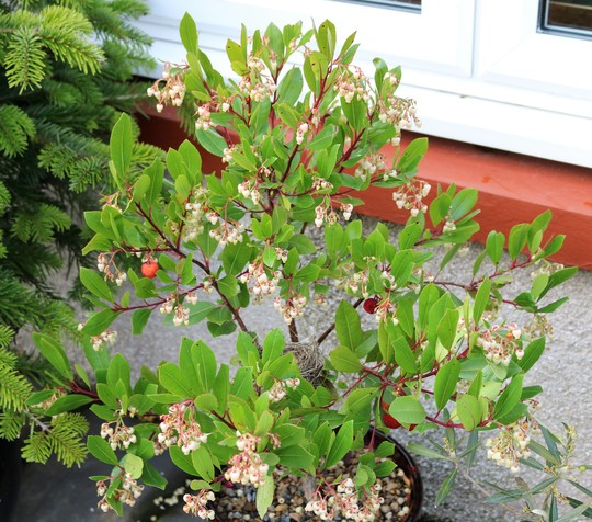 Arbutus unedo - young tree in a pot