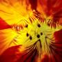 Nasturtium Flower - Bug's Eye View (nasturtium)