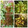 Coprosma Collage.... (Coprosma Lemon and lime...)