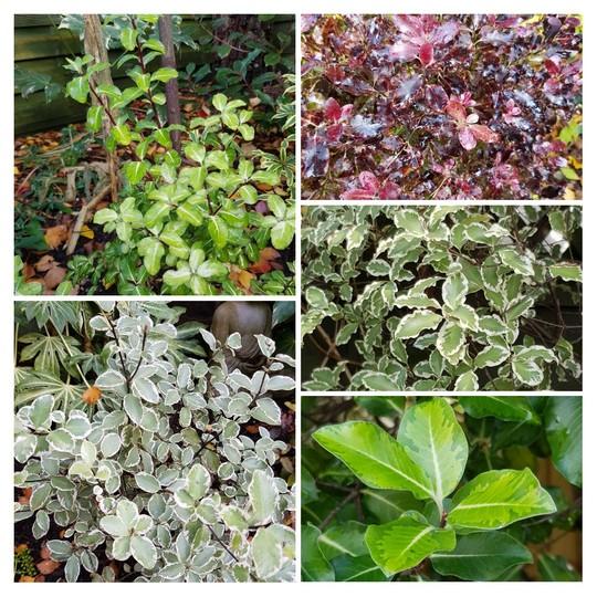 Pittosporum varieties..... (Pittosporum tenuifolium (New Zealand Pittosporum)Garnettii)