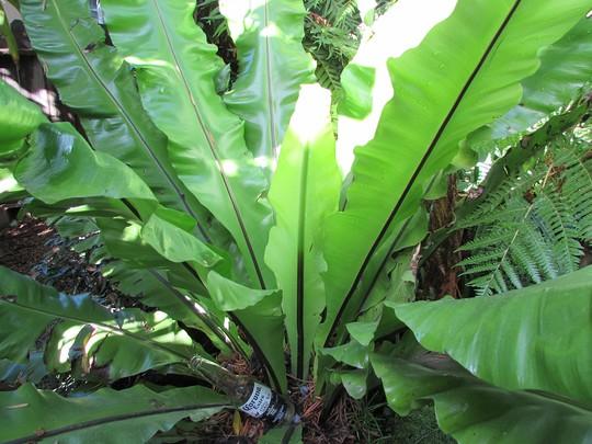 More fern fer scale... (Asplenium australasicum (Birds Nest Fern))