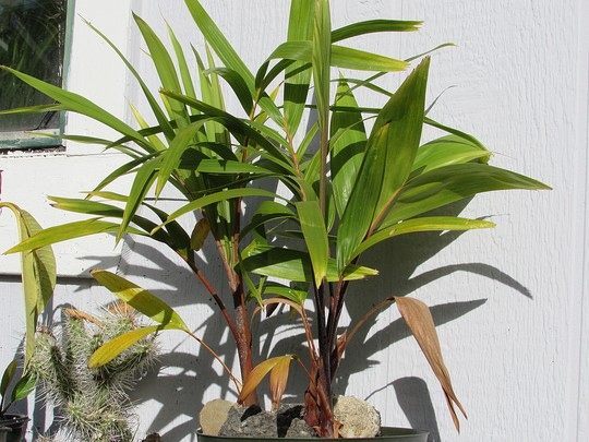 Spindle palms from seed. (Hyophorbe indica 'red form')
